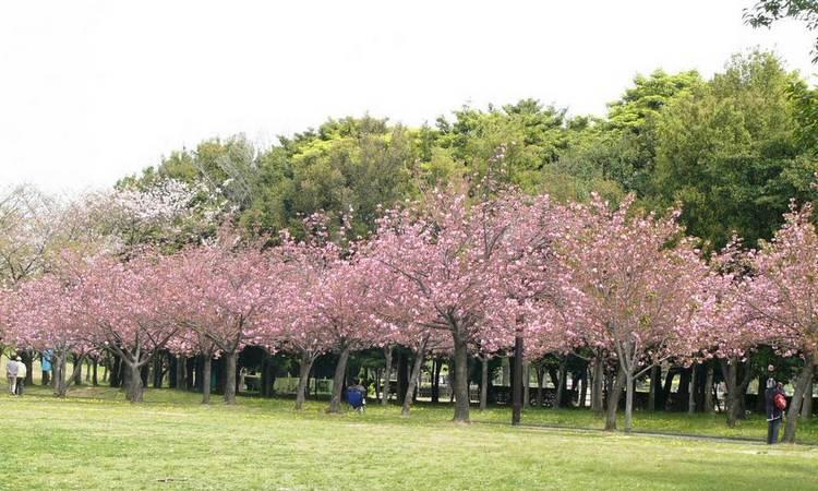 Pohon Sakura di Kebun Raya Bogor